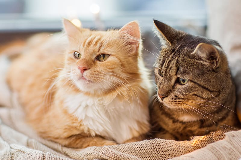 IBD in cats, life-expectancy | Huntersville Vet